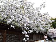 Cherry Blossoms at Hirano Shrine3