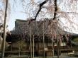 Cherry Blossoms at Tenryu-ji Temple2