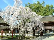 Cherry Blossoms at Hirano Shrine