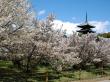 Cherry Blossoms and 5-storied Pagoda at Ninna-ji Temple2