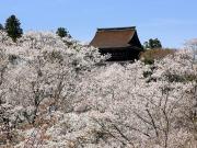Kimpusen-ji Temple Main Hall and Cherry blossoms