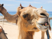 camel_safari_ritz-1033