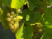 rcm-04-champagne-grapes