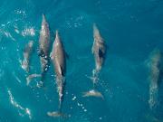dolphins_rnicolaidis