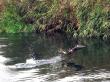 Leaping Hokkaido salmon heading upstream