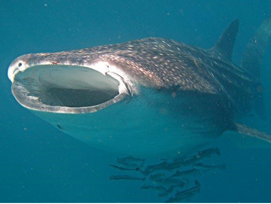 ジンベイザメの丈夫な皮膚