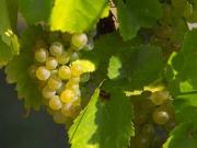 rc-04-grapes