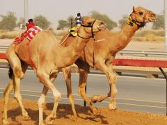 Camel-Racing-In-Dubai-UAE