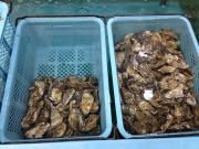 仙鳳跡産 牡蠣