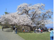 美の山の桜