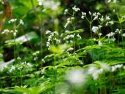 春先に白い花が綺麗だった サンカヨウ