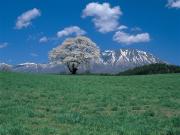 3377一本桜 春