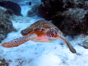 holokai_turtle