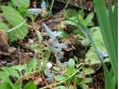 早春の花「エゾエンゴサク」