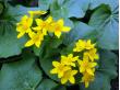 早春の花「エゾノリュウキンカ」