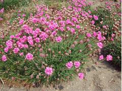 初夏の花「アルメリア 和名ハマカンザシ」
