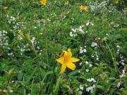 初夏の花「エゾカンゾウ」