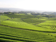 Yame Central Tea Garden