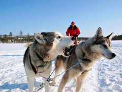 Husky_excursion_by_Lapland_Safaris_2