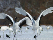 阿寒湖国際ツルセンターの白鳥