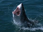 shark_98585738atN07