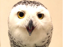 The fluffy star of a Hakata owl cafe