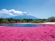 Field of pink cherry blossom bush