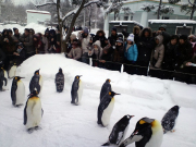 The penguin walk at Asahiyama Zoo