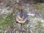 Wombats at Ronny Creek
