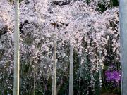 天龍寺(春)