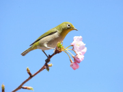 A cute green bird perched behind a sakura
