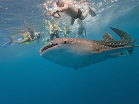 ジンベイザメと泳ぐツアー