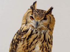 tokyo owl