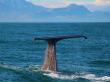 Semi-resident sperm whale - Tutu