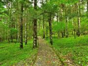 mt fuji forest