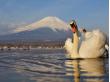fuji swan