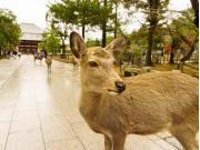 Nara deer cropped
