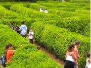 Herbaceous Maze