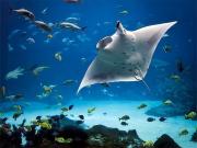 Manta Swim