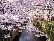 sakura megurogawa cropped