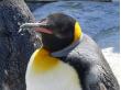 kingpenguin