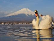 Swan Yamanaka Lake cropped