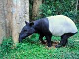 Tapir at Taman Negara_216451903