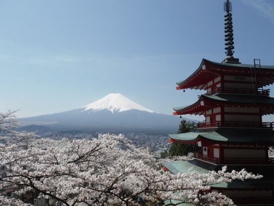mt fuji cherry blossom viewing with strawberry picking
