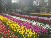 Seasonal Tulip Displayat Gardens by the Bay