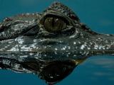 crocodile-water