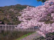 arashiyama(sakura)
