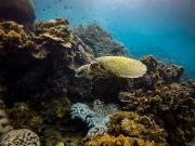 turtle under the sea koh tao island snorkeling