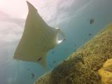 manta-ray-1145955_1920