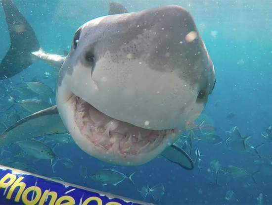 great white shark cage diving adventure from port lincoln